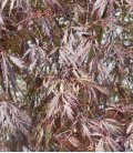 Acer Dissectum Garnet