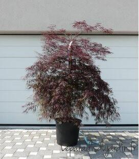 Acer palmatum Dissectum Garnet - erable japon pourpre c35 litres extra hauteur 170cm hors pot