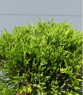 Juniperus Pfitzeriana Old Gold tree cloud niwaki height 80-100cm pot 45 liters