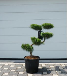Juniperus Pfitzeriana Aurea
