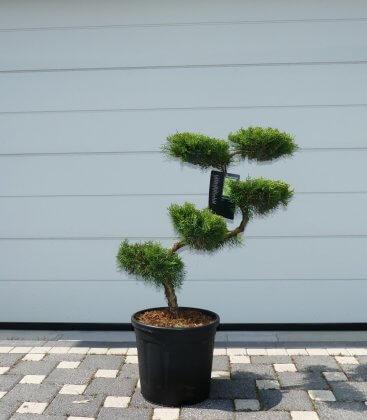 Juniperus Pfitzeriana Aurea c20 litrest taille en S hauteur 80-100cm arbre nuage, bonsai jardin japonais pas cher