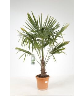 trachycarpus fortunei - palm hemp trunk 15 cm by leparadisdujardin