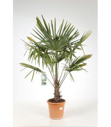 trachycarpus fortunei - palmier chanvre tronc 15 cm par leparadisdujardin