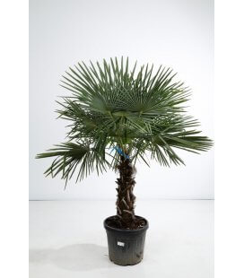 trachycarpus fortunei - palm hemp trunk 60 cm by leparadisdujardin