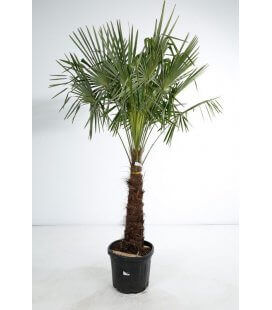trachycarpus fortunei - palm hemp trunk 80 cm by leparadisdujardin