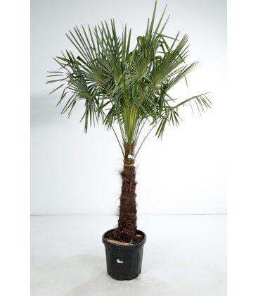 trachycarpus fortunei - palmier chanvre tronc 80 cm par leparadisdujardin