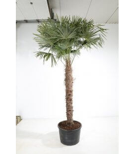trachycarpus fortunei - palm hemp trunk 200 cm by leparadisdujardin