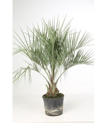 butia capitata palm apricot total height 100-120cm trunk 15-20cm by leparadisdujardin