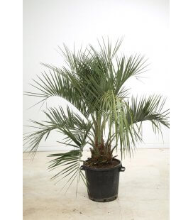 butia capitata palm apricot total height 140-160cm trunk 30-40cm by leparadisdujardin