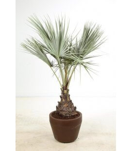 Brahea Armata palm tree blue trunk 30-40cm by leparadisdujardin
