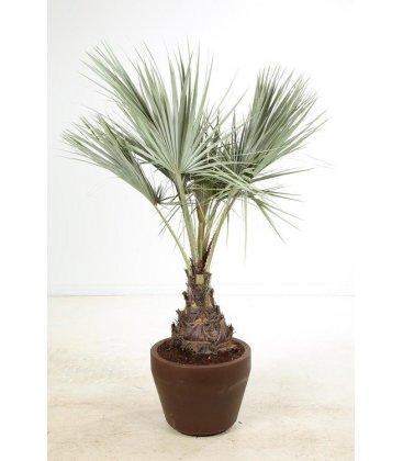 Brahea Armata palmier bleu tronc 30-40cm par leparadisdujardin