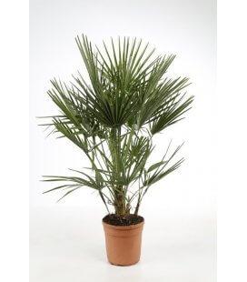 chamaerops humilis - mediterranean palm pot 10l by leparadisdujardin