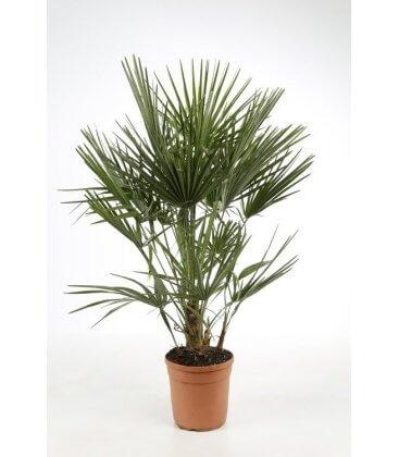 chamaerops humilis - palmier meditérranée pot 10l par leparadisdujardin