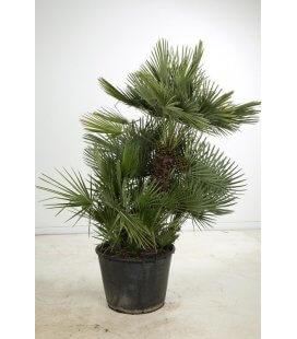 chamaerops humilis - mediterranean palm tree pot 110l by leparadisdujardin