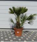 chamaerops humilis - palmier meditérranée pot 45l par leparadisdujardin
