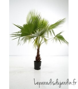 Washingtonia Robusta palmier mexicain