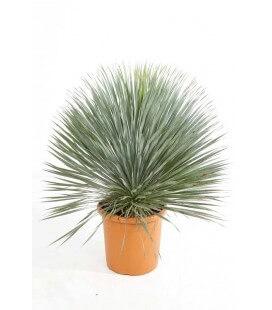 Yucca Rostrata yucca du mexique tronc 15-20cm par leparadisdujardin