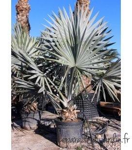 Bismarckia Nobilis palmier bleu de l'ile maurice pot 45 litres hauteur 250-300cm par leparadisdujardin.fr