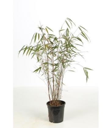 Fargesia scabrida Asian Wonder pot 3 litres hauteur 40-60cm par leparadisdujardin.fr