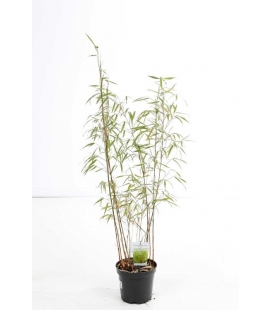 Fargesia scabrida Asian Wonder pot 3 liters height 80-100cm by leparadisdujardin.fr