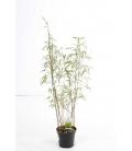 Fargesia scabrida Asian Wonder pot 3 litres hauteur 80-100cm par leparadisdujardin.fr