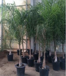 Syagrus Romanzoffiana palmier Coco