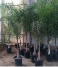 Syagrus Romanzoffiana palmier coco, palmier de la reine tronc 50-60cm
