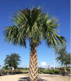 Sabal Palmetto or florid palm