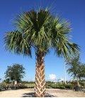 Sabal Palmetto, palmier de floride pot de 26 litres hauteur totale 140/160cm vente groupée