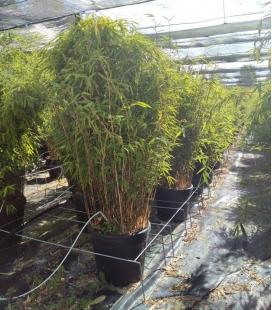 Bamboo Fargesia nitida Volcano