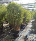 Bambou Fargesia nitida Volcano