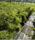 Bambou Fargesia nitida Volcano un petit bambou par leparadisdujardin label plante bleue c15L hauteur 125-150cm