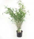 Fargesia Nitida 'Gansu' plante bleue production française leparadisdujardin c5L hauteur 60-80cm