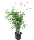 Fargesia Nitida 'Gansu' plante bleue production française leparadisdujardin c2L hauteur 30-40cm