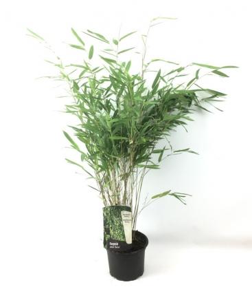 Fargesia Nitida 'Gansu' plante bleue production française leparadisdujardin c2L hauteur 40-60cm