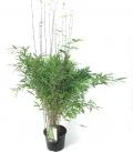 Fargesia Nitida 'Gansu' plante bleue production française leparadisdujardin c5L hauteur 80-100cm