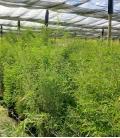 Fargesia nitida Black Pearl leparadisdujardin label plante bleue production française c15L hauteur 125-150cm