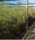 Fargesia Angustissima c15 litres hauteur 150/175cm bambous non traçant