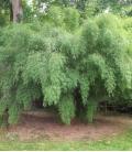 Fargesia Angustissima bambous très cespiteux d'une hauteur allant de 3 à 5m