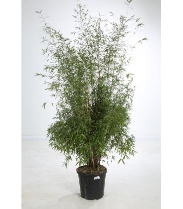 Fargesia Angustissima c15 litres hauteur 150/175cm
