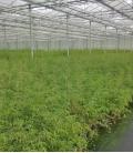 Fargesia Angustissima c5 litres hauteur 40/60cm