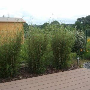 croissance d 39 une haie de bambou fargesia robusta campbell. Black Bedroom Furniture Sets. Home Design Ideas