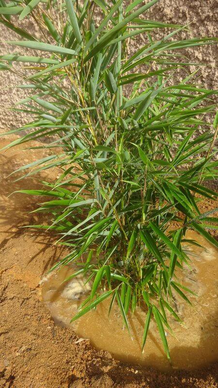 Fargesia Robusta Campbell posté par Brigitte B. le 10 Novembre 2015, fargesia robusta campbell en pot de 5 litres hauteur téhoriques 40-60cm production française au label plante bleue