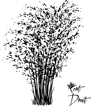 Schema représentant le port Droit à l'age adulte du bambou non-traçant fargesia robusta campbell