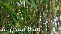 Fargesia Nitida Great Wall
