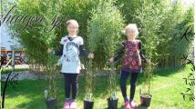 Fargesia Jiuzhaigou sp1 Incredible exceptional size pots