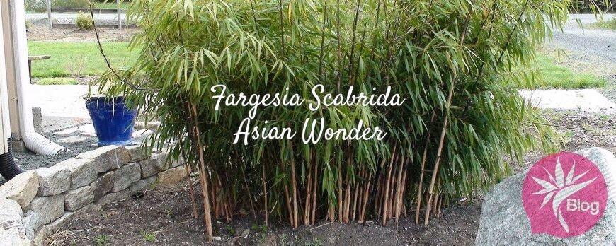 Fargesia Scabrida Asian Wonder