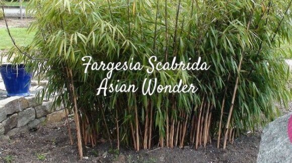 Fargesia Scabrida Asian Wonder