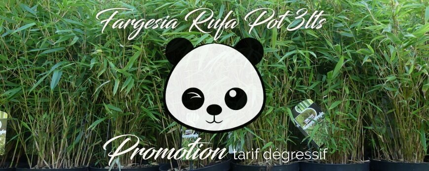 Promotion Bambou fargesia Rufa and Scabrida asian wonder