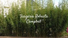 Growth of bamboo fargesia